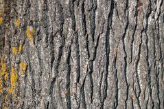Wood bark texture on daylight in nature with grooves. Natural pattern concept. Close up Stock Photo