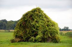 Wood barn sits abandoned and covered in grapevine Stock Photography