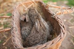 Wood basket with brown rabbits. Outdoor Royalty Free Stock Image