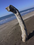 Wood on the beach. Big piece of wood left on the beach after a storm in Tuscany Stock Photo