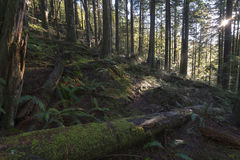 Wood Beams. A beam of light illuminates the forest floor passing through the canopy.  Cascade Falls, Mission, BC, Canada Royalty Free Stock Photos