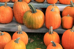 Wood benches with choice of big,colorful pumpkins Stock Photos
