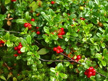 Wood berry a cowberry, the Karelian margin Royalty Free Stock Photo