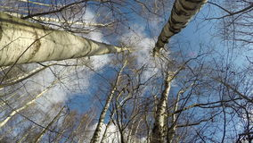 Wood with birch trees, time lapse 4K. Wood with birch trees on sunny cloudy winter day, time lapse 4K stock footage