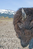 Wood Bison Stock Photo