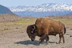 Wood Bison. Grazing in countryside with snow capped mountains in background, Alaska, U.S.A Royalty Free Stock Photography