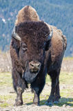 Wood Bison Royalty Free Stock Photography