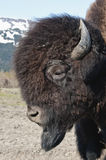Wood Bison. Side portrait of male Wood Bison with snow capped mountains in background, Alaska, U.S.A Royalty Free Stock Photos