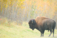 Wood Bison Stock Photography