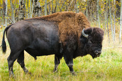Wood Bison Arkivbilder