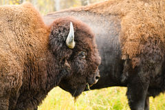 Wood Bison Royalty Free Stock Photos