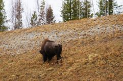 Wood Bison Alaska Highway Scenic View. Wood Bison along the Alaska Highway in Yukon, Canada with a Scenic View of the side of the road with trees and brown grass royalty free stock photos