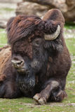 Wood bison Bison bison athabascae. Stock Images