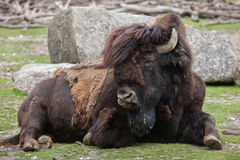 Wood bison Bison bison athabascae. Stock Photos