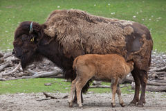 Wood bison Bison bison athabascae. Stock Photography
