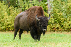 Wood bison (Bison bison athabascae). Often called mountain bison, wood buffalo or mountain buffalo Royalty Free Stock Photos