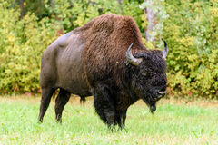 Wood bison (Bison bison athabascae). Often called mountain bison, wood buffalo or mountain buffalo Royalty Free Stock Photo