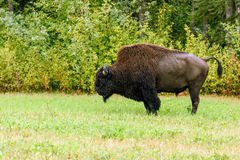Wood bison (Bison bison athabascae). Often called mountain bison, wood buffalo or mountain buffalo Stock Photography
