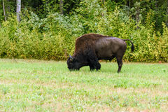 Wood bison (Bison bison athabascae). Often called mountain bison, wood buffalo or mountain buffalo Royalty Free Stock Photography