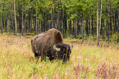 Wood bison (Bison bison athabascae). Often called mountain bison, wood buffalo or mountain buffalo Royalty Free Stock Images
