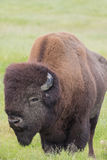 Wood Bison Stock Photos