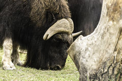 Wood bison Royalty Free Stock Images