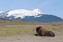 Wood Bison in countryside Stock Images
