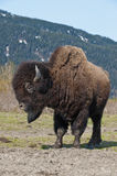 Wood Bison in countryside Stock Photo