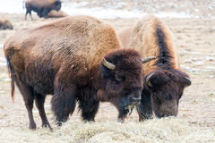 Wood Bison Eating Straw Stock Photography