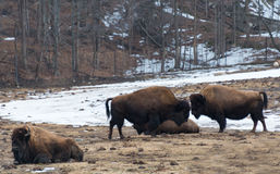 Wood Bison Head to Head Stock Photography