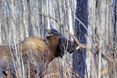 Wood Bison hiding behind trees and bushes in Elk Island National Park Stock Photos