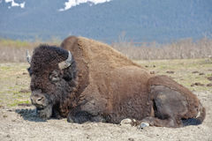 Wood bison resting Royalty Free Stock Photos