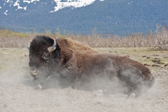 Wood Bison rolling in dirt royalty free stock photos