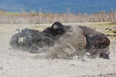Wood Bison rolling in dirt Royalty Free Stock Images