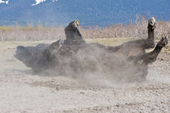 Wood Bison rolling in dirt Royalty Free Stock Image