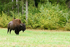 Wood bison (Bison bison athabascae) Royalty Free Stock Photos