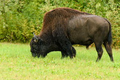 Wood bison (Bison bison athabascae) Stock Photography