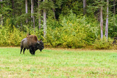 Wood bison (Bison bison athabascae) Stock Images