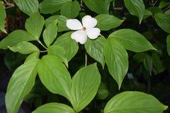 Wood blomma för delikat vit hund Arkivbilder