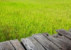 Wood bräde i den mer unga risfältet fotografering för bildbyråer