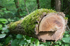 Wood branch. A cut branch covered with green moss Royalty Free Stock Images