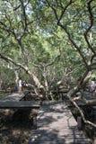 Wood bridge with big tree in mangrove the way study nature at thung prong thong ,Rayong , Thailand Stock Photo