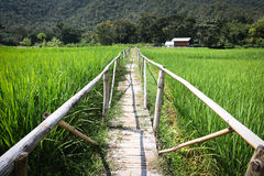 Wood bridge on green rice field Royalty Free Stock Photos