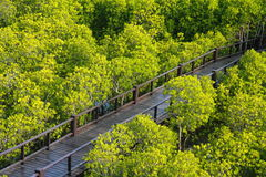 Wood bridge in the mangrove Stock Images