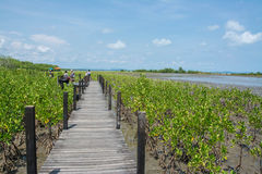 Wood bridge in mangrove the way study nature at thung prong thong , Thailand Royalty Free Stock Photo