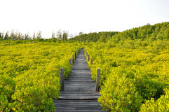 Wood bridge. The old wooden bridge in the mangrove forest Royalty Free Stock Image