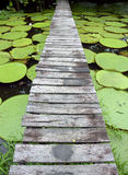 Wood bridge over Amazon pond. Whit victoria regia lilys Royalty Free Stock Photos