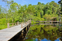 Wood bridge in peat swamp forest Royalty Free Stock Image