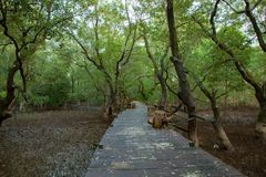 Wood bridge walking trail in mangrove forest. Wood bridge walking   trail in mangrove forest Royalty Free Stock Photography