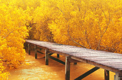 Wood bridge&yellow mangrove forest. Stock Photography